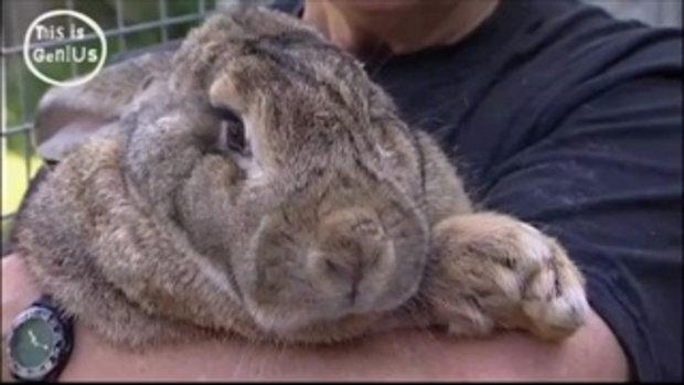 กระต่ายยักษ์หนัก 20 กิโล!!