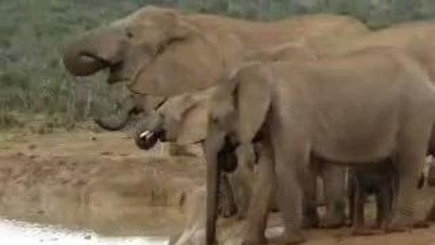 ครอบครัวช้างช่วยลูกน้อยจากการจมน้ำน่ารักสุด ๆ