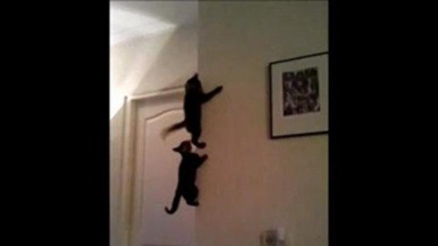 แมวนินจา สไปเดอร์แคท ปีนกำแพงอย่างเทพ