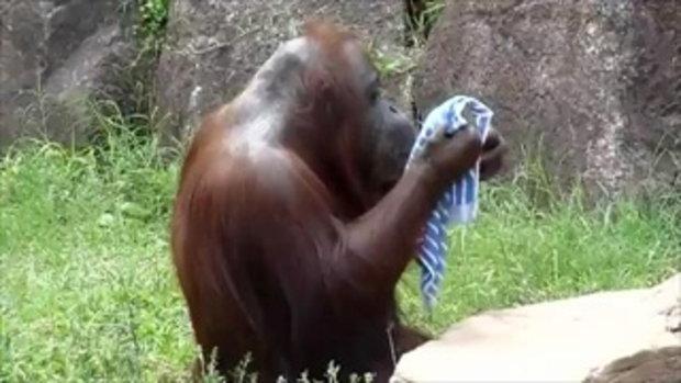 ลิงอุรังอุตัง มีวิธีคลายร้อนของมัน เหมือนคนเลย