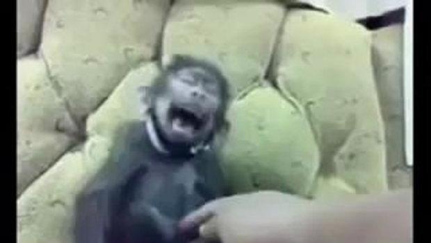 ดู!! ลิงหลับ โดนจักจี้หัวเราะ ฮาก๊ากเลย