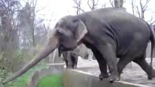 คลิป หาดูยาก สุดๆ ความพยายามของช้าง
