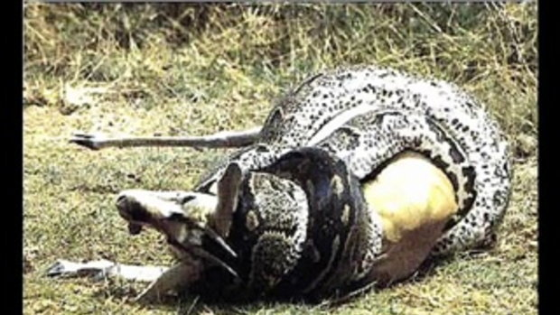 งู แมงมุมที่ใหญ่ที่สุดในโลก
