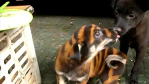 Wuxi China Bengal Dog by sia.co.th
