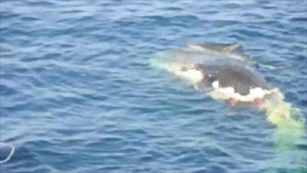 ฉลามกินปลาวาฬ
