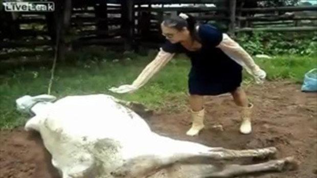 จำไว้นะ อย่าไปยุ่งกับวัวพึ่งตกลูก