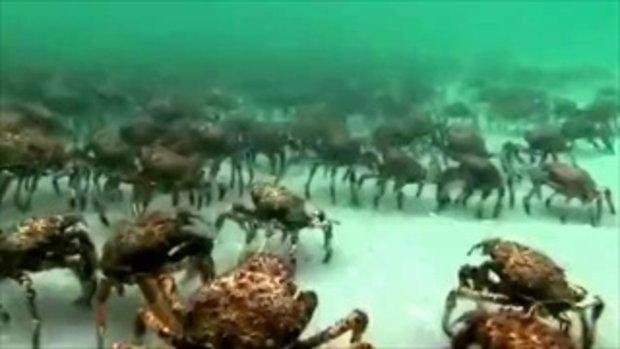 ปูแมงมุม ปะทะ ปลากระเบน