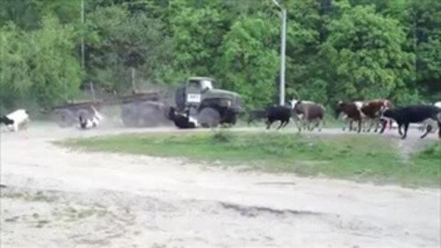 นาทีสยอง รถพ่วงเบรกแตก พุ่งชนฝูงวัว เข้าเต็มๆ