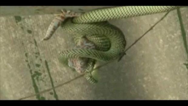 งูเขียวหวังกินตับตุ๊กแก