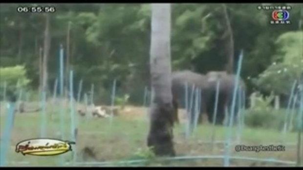 ช้างป่าไล่กระทืบคนจับห่านป่า