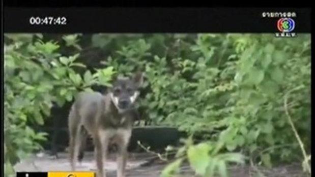 ลูกหมูป่าถูกฝูงสุนัขรุมกัดกินตาย