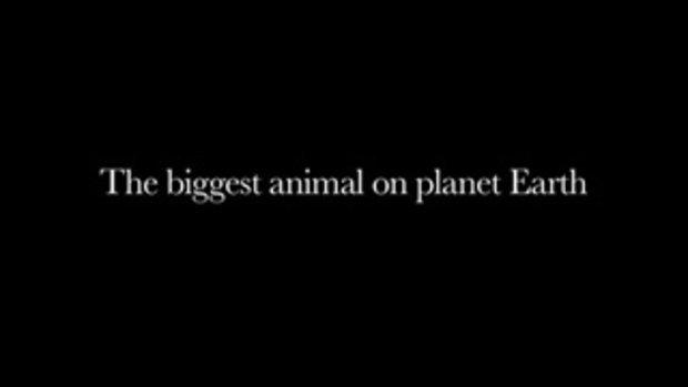 หาดูยาก วาฬสีน้ำเงิน สัตว์ที่ใหญ่ที่สุดในโลก