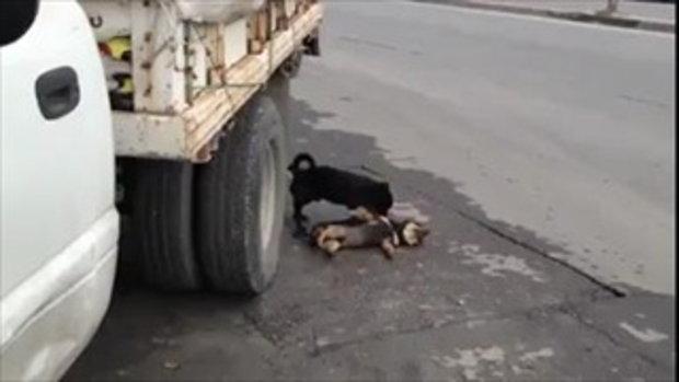 น้องหมาเห็นเพื่อนตาย ปลุกเพื่อนสุดชีวิต!