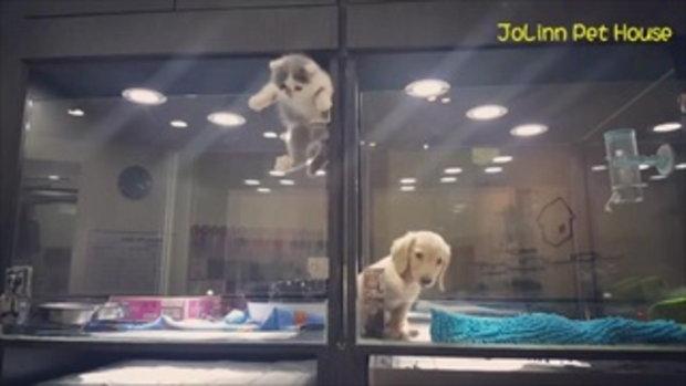 แชร์สนั่นโซเชียล! ดราม่าลูกแมวเหงาปีนข้ามกรงมาเล่นกับน้องหมาในร้านขายสัตว์เลี้ยง