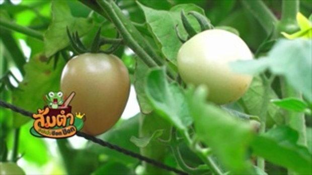 คลิปอ๊อด อ๊อด : การปลูกมะเขือเทศสีดา