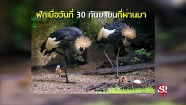 ดูความน่ารักลูกนกกระเรียนหงอนพู่  2 ตัว