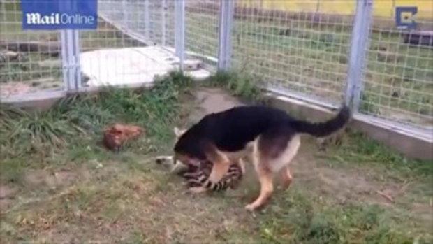 คลิปเมื่อเจ้าหมาไม่ยอมเสือ จะเกิดอะไรขึ้น