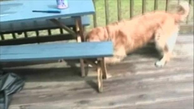 ศึกสองเผ่าพันธ์ เมื่อ สุนัขโกลเด้น สู้กับ ปู ใครจะชนะ