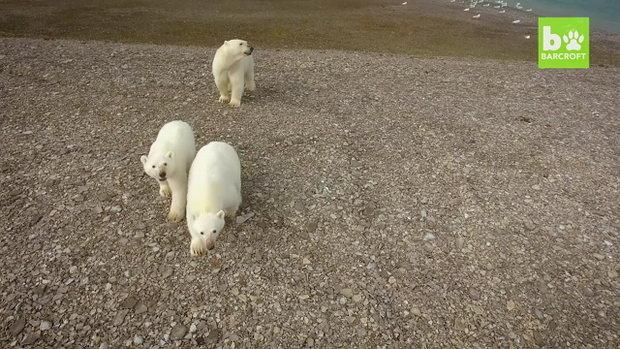 หมีขั้วโลกเหนือ VS โดรน