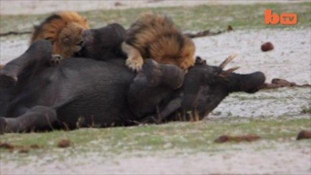 คลิป สิงโต จู่โจม ช้าง
