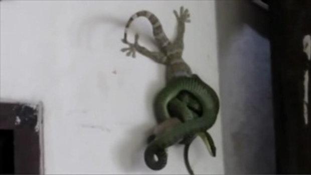 ภาพหาชมยาก! เผยคลิปสุดระทึก ตุ๊กแกช่วยเพื่อน จากการถูกงูเขียวรัด