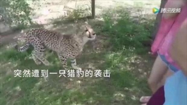 ระทึก! สาวจีนถูกเสือชีตาร์กระโดดตะครุบกลางเขตอนุรักษ์ฯในแอฟริกาใต้