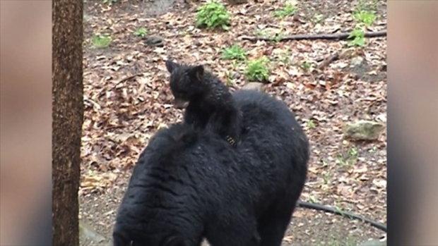 ลูกหมีที่ไม่ยอมลงจากหลังแม่