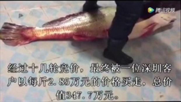 ประมงจีนจับปลาจวดได้ ขายราคาแพงถึง 17 ล้านบาท