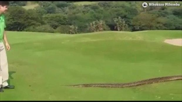 มันใหญ่มาก! งูเหลือมตัวยาวเลื้อยกลางสนามกอล์ฟแอฟริกา