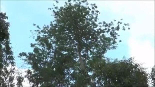 ประหลาดใจ! ไปเก็บรังผึ้ง ไหว้เจ้าที่ นางพญาบินออกไม่ต้องรมควัน คั้นได้น้ำสีเขียวมรกต