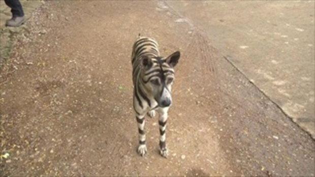 ฮือฮา พบสุนัขลายเสือ ที่แท้เจ้าของวาดให้