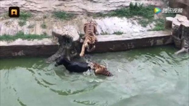 ทั้งโลกตะลึง สวนสัตว์จีนจับลาตัวเป็นๆ โยนใส่กรงเสือ