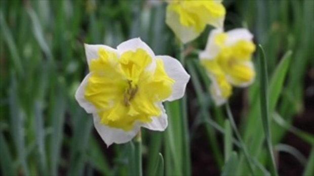 ดอกดารารัตน์ อุทยานไม้ดอกเพลาเพลิน จ.บุรีรัมย์