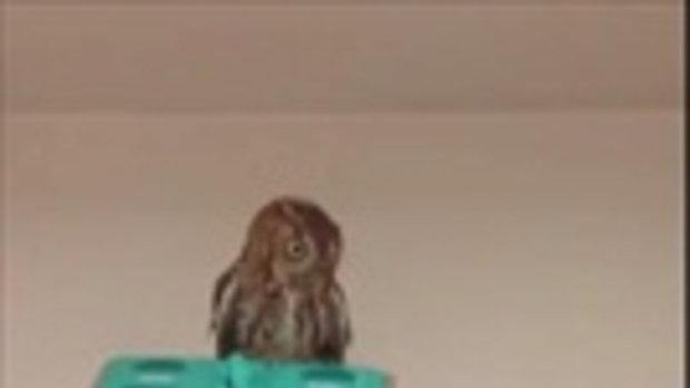 หัวใจจะวาย !!! นกฮูกหลงทาง บินเข้าห้องหนุ่มร้องลั่น ต้องไล่ด้วยไม้ถูพื้น แบบสะพรึง!!!