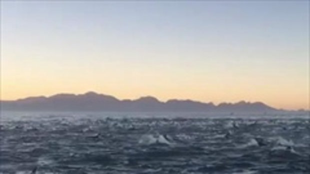 ภาพสวยงาม...นาทีฝูงโลมา 2,000 ตัว แหวกว่ายเหนือน้ำ ราวกับคลื่นทะเลยักษ์