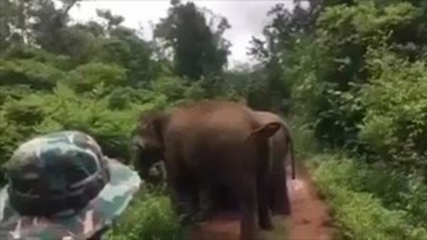 เกิดมาไม่เคยใกล้ช้างป่าอะไรขนาดนี้ โชคดีพังแม่เปิ้ลช่วยไว้ !!