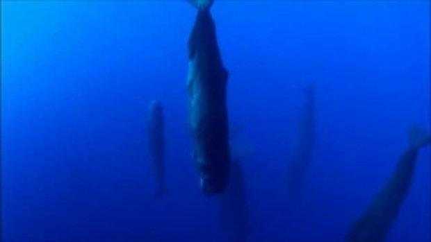 ภาพหาดูยาก !!! วาฬสเปิร์ม กำลังงีบหลับ มหัศจรรย์ใต้ท้องทะเล