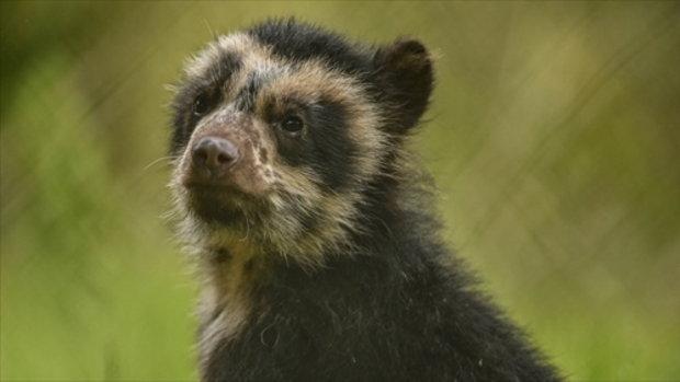 หมีแพดดิงตันตัวแรกที่เกิดในสวนสัตว์ของอังกฤษ