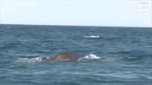 เปิดวินาทีช่วยชีวิต !!! ช้างป่า 2 เชือก กำลังจมน้ำทะเล เจ้าหน้าที่เร่งช่วยเหลือ