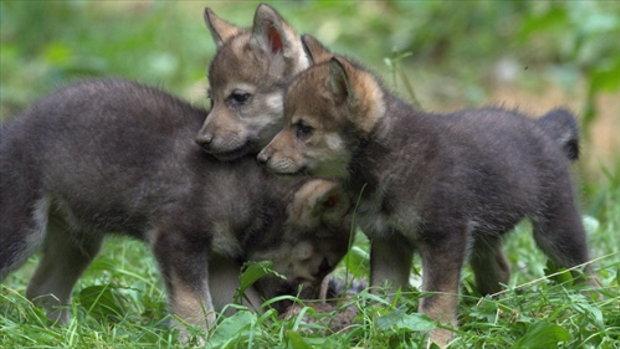 ลูกสุนัขป่าเกิดในสวนสัตว์ครั้งแรกในรอบ 47 ปี