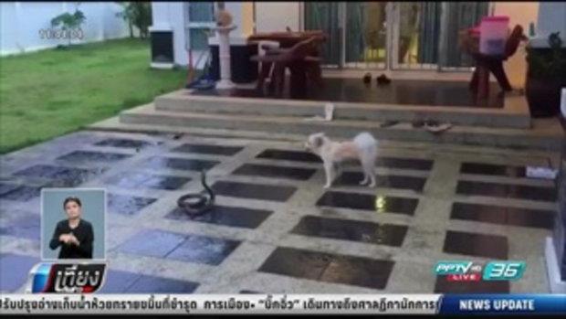 สุนัขใจเด็ด! สู้กับงูเห่าจนตัวตาย - เที่ยงทันข่าว