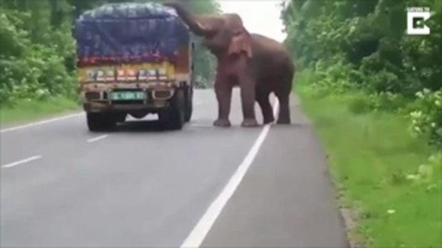 ช้างตัวใหญ่เข้าขวางรถบรรทุกมันฝรั่ง ก่อนจะลักผลมันฝรั่งมากินอย่างเอร็ดอร่อย