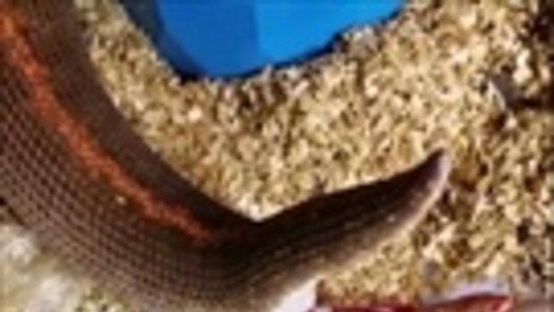 ใครไม่เคยเห็นห้ามพลาด!! คลิปหาดูยาก งูออกลูกตัวเป็นๆ