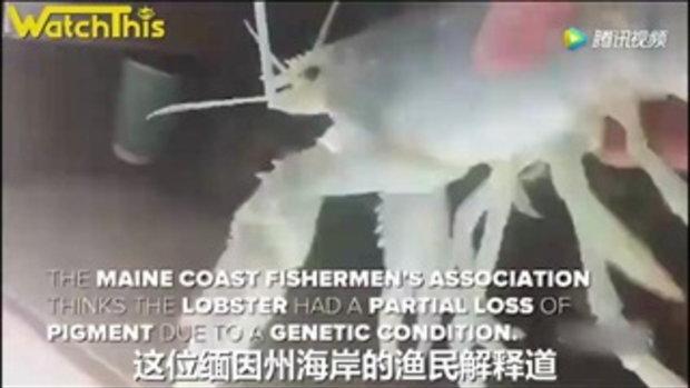 ฮือฮา! ชาวประมงสหรัฐฯ จับได้กุ้งล็อบสเตอร์สีขาวสุดหายาก