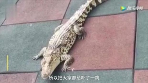 ผวาทั้งเด็กทั้งครู จระเข้ยาวกว่าเมตรโผล่หน้าโรงเรียนในจีน