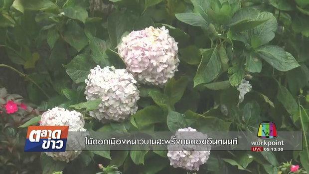 ไม้ดอกเมืองหนาวบานสะพรั่งบนดอยอินทนนท์ I ตลาดข่าว I 11 ก.ย. 60