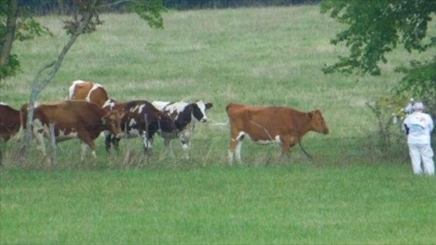 ปีสก๊อตต้อนวัว