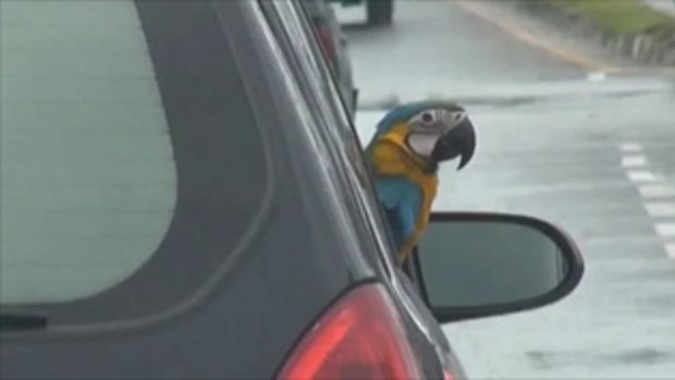 """เชื่องได้อีก """"นกแก้วมาคอร์"""" เจ้าของพาขี่รถชมวิว คนดูทั้งถนน"""