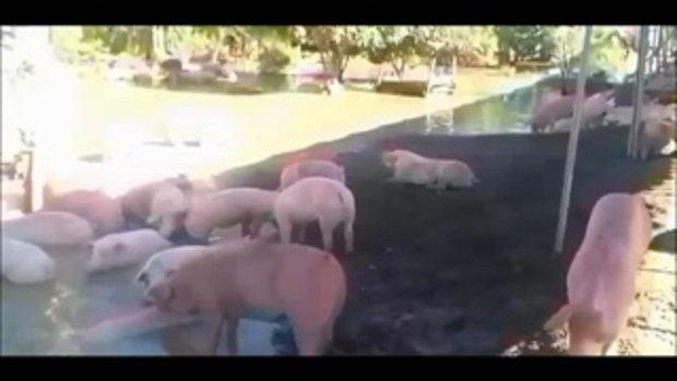 เอาไม่อยู่ !! พนังแตกมวลน้ำทะลักซัดถนนขาด ท่วมฟาร์มหมูตายเกลื่อนกว่า 50 ตัว