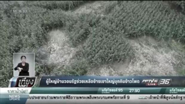 ผู้ใหญ่บ้านวอนรัฐช่วยเหลือช้างเขาใหญ่บุกกินข้าวโพด - เที่ยงทันข่าว